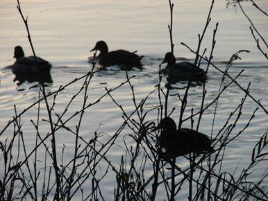 petits-canards