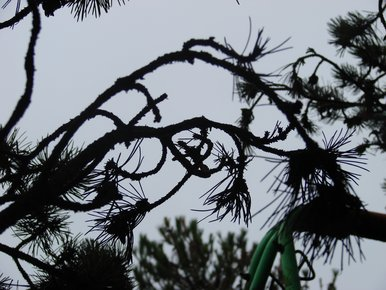Branches tordues
