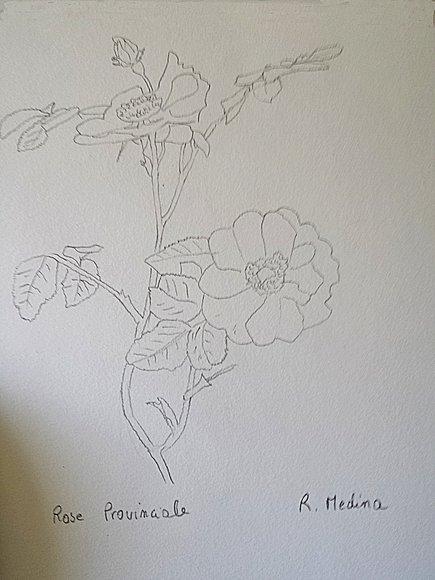 rose provinciale