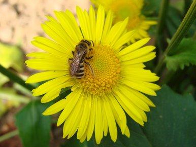 fleur et abeille