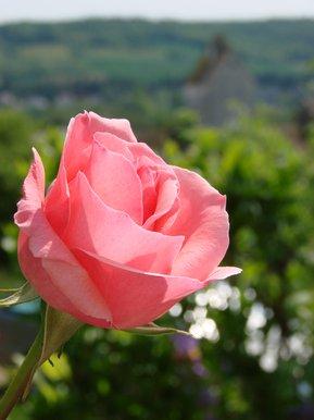 rose sur fond de nature