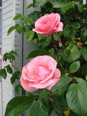 roses à l\'entrée