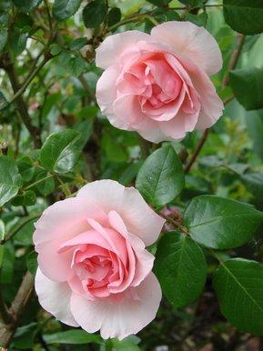 roses le matin