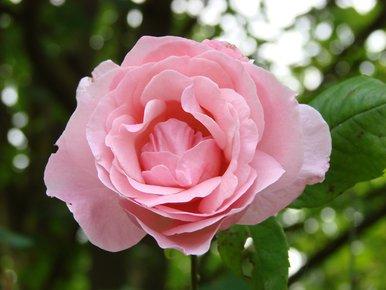 rose découpée