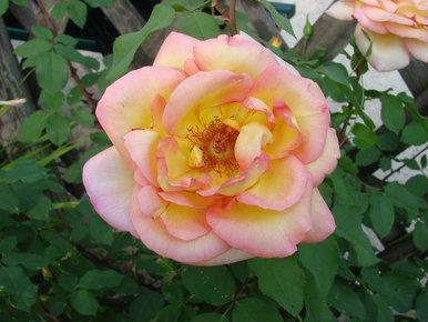 rose panachée rose et jaune