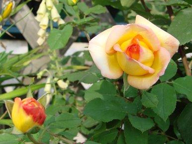 roses panachées jaune et rouge
