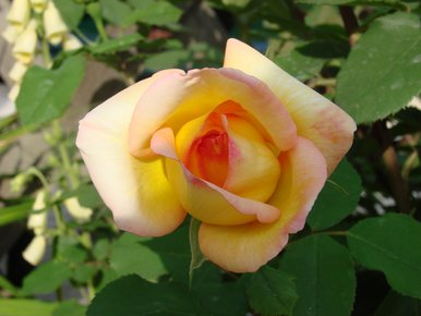 rose panachée jaune et rouge