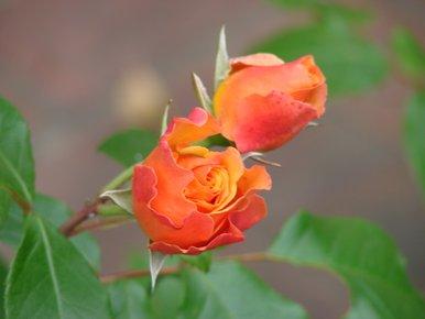roses rouges et jaunes