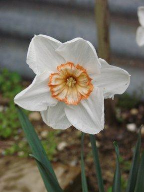 narcisse blanc