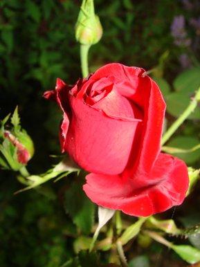 rose et bouton de rose