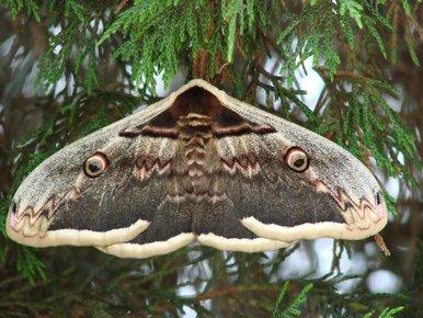 papillon de nuit géant