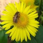 fleur-et-abeille