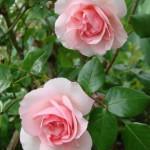 roses-le-matin
