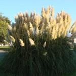 herbes-de-pampa-dans-la-lumiere