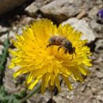 abeille-sur-pissenlit