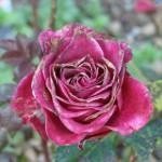 vieille-rose-pourpre