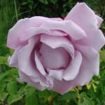 rose-mauve