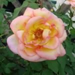 rose-panachee-rose-et-jaune