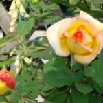 roses-panachees-jaune-et-rouge.
