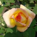 rose-panachee-jaune-et-rouge