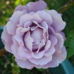 rose-mauve-decoupee