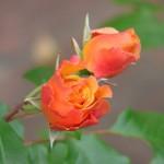roses-rouges-et-jaunes