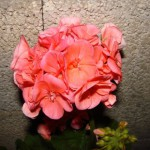 geranium-sur-le-mur