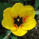 tulipe-aune