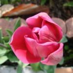 tulipe-rose