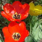 tulipes-rouges