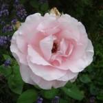 rose-sauvage