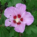 athea-hibiscus